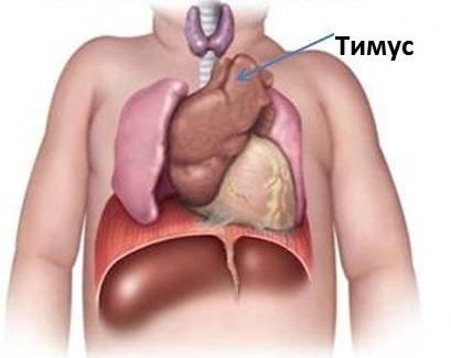 схема расположения тимуса