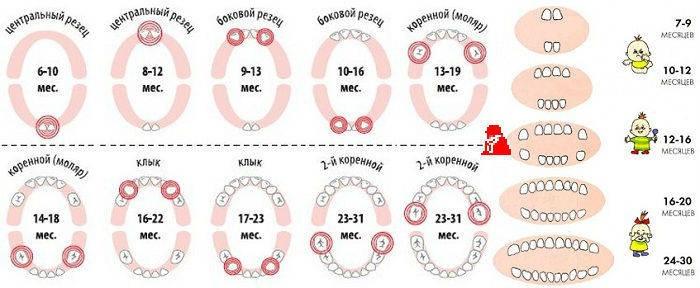Схематический порядок появления зубов