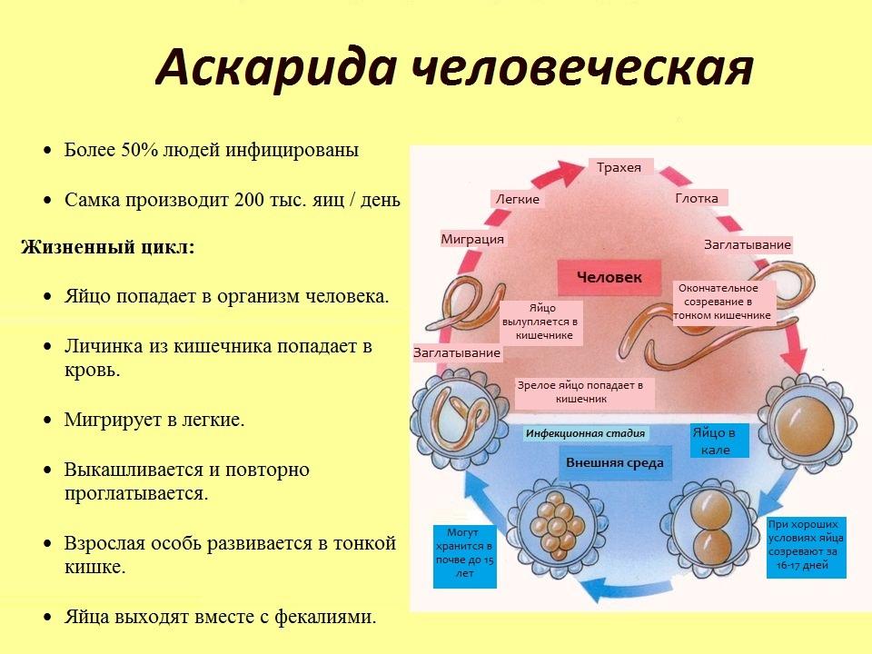 характеристика аскариды