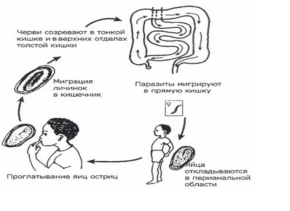 попадание остриц в организм ребенка
