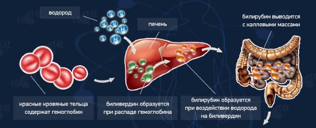 схема вывода билирубина из крови