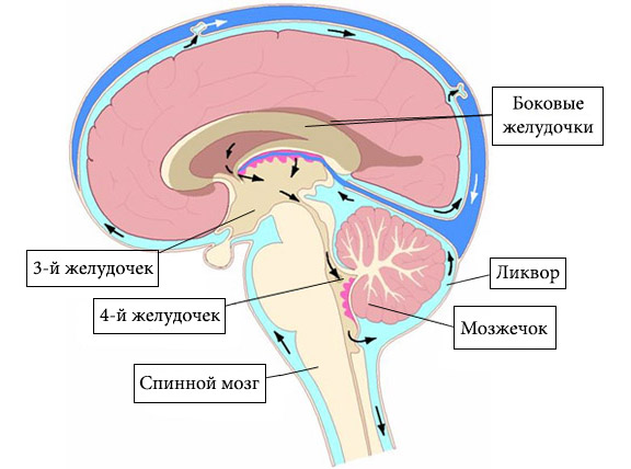 схема функционирования мозга