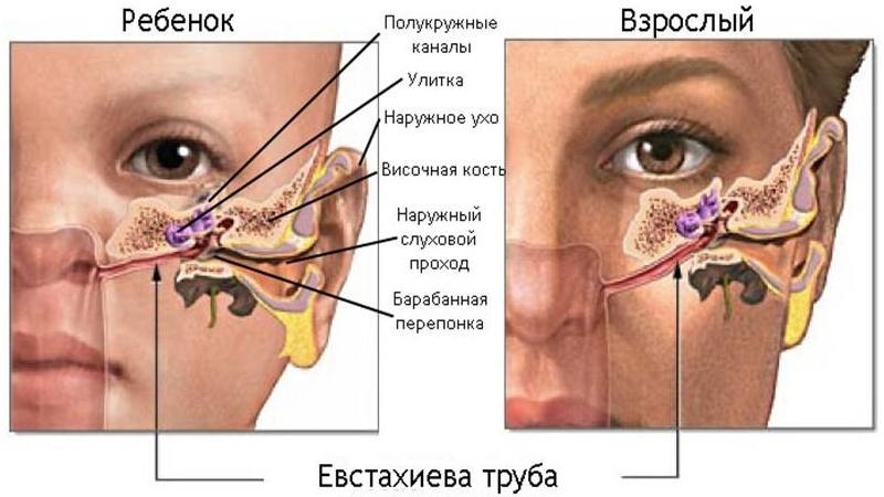 строение слухового аппарата у детей и взрослых