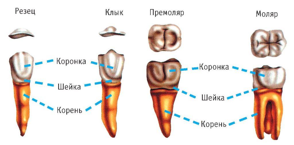 форма зубов