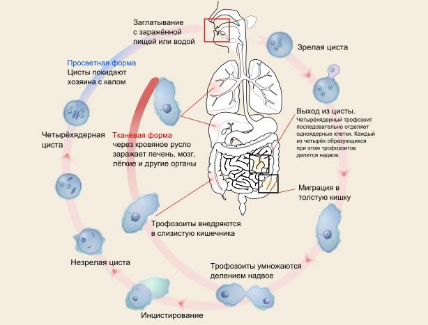 цикл развития амебы