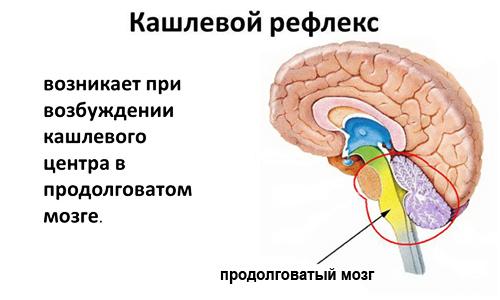 что такое кашлевой рефлекс