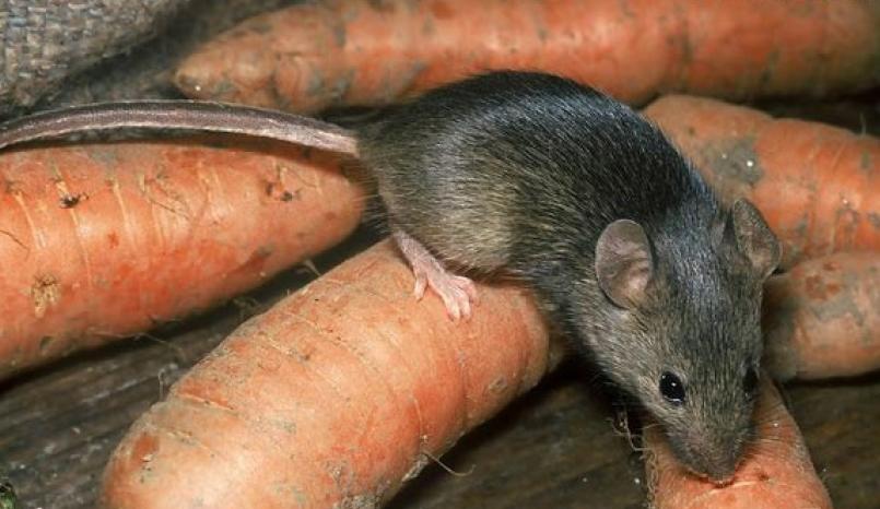 мышь на морковке