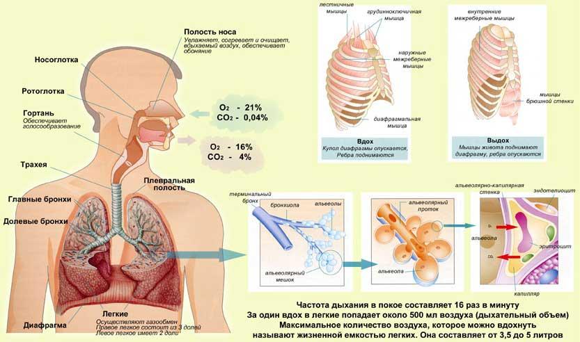 Функционирование органов дыхания у детей раннего возраста