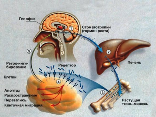 влияние гормона роста на гипофиз