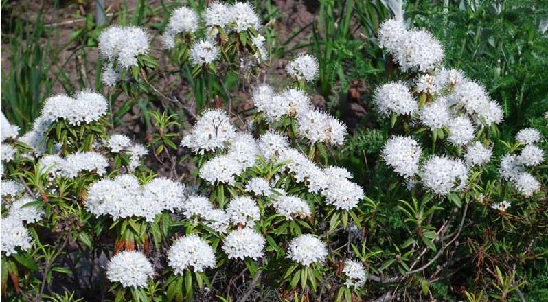 цветы багульника