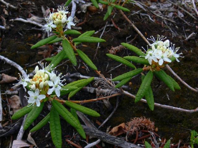 три цветка багульника