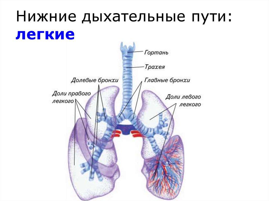 Нижние дыхательные пути, легкие