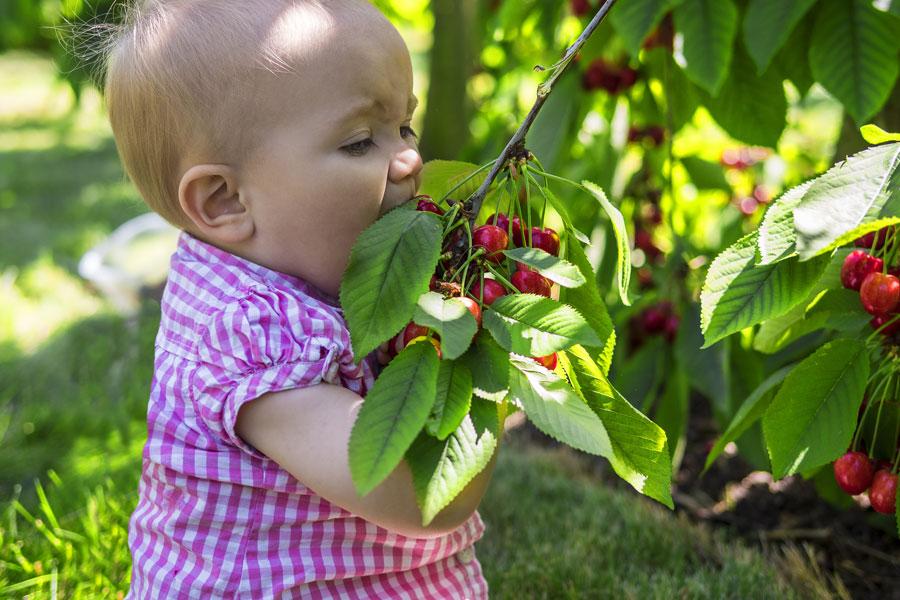 ребенок ест черешню