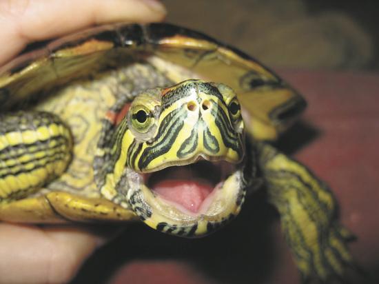 Черепаха, животный